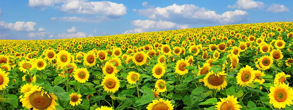 Commodity Marketing Sunflower Field