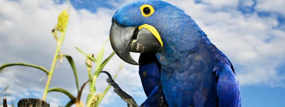 Blue Hyacinth Macaw Bird