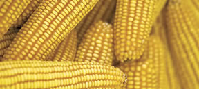 corn_whole_ear
